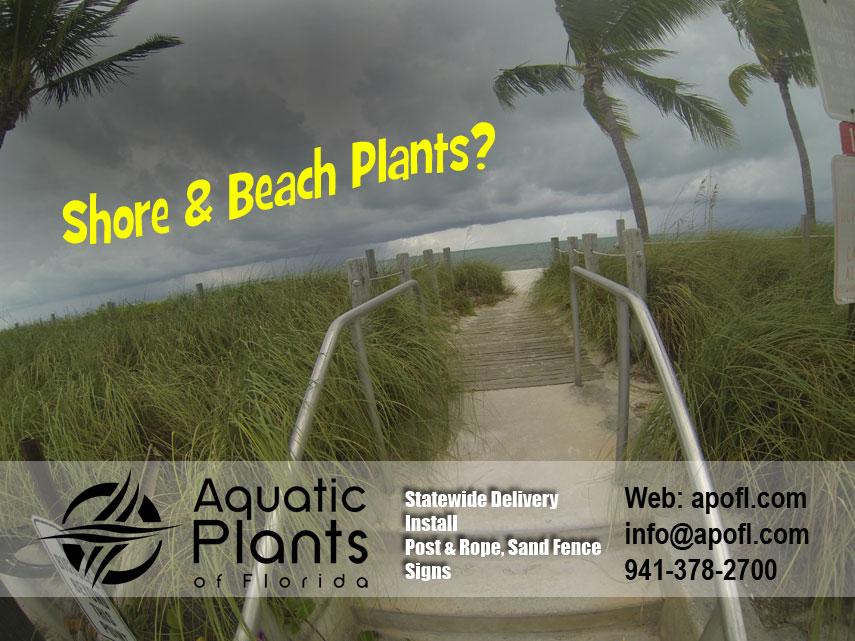 Gallery – Sea Oats or Uniola paniculata, Common Beach Grass